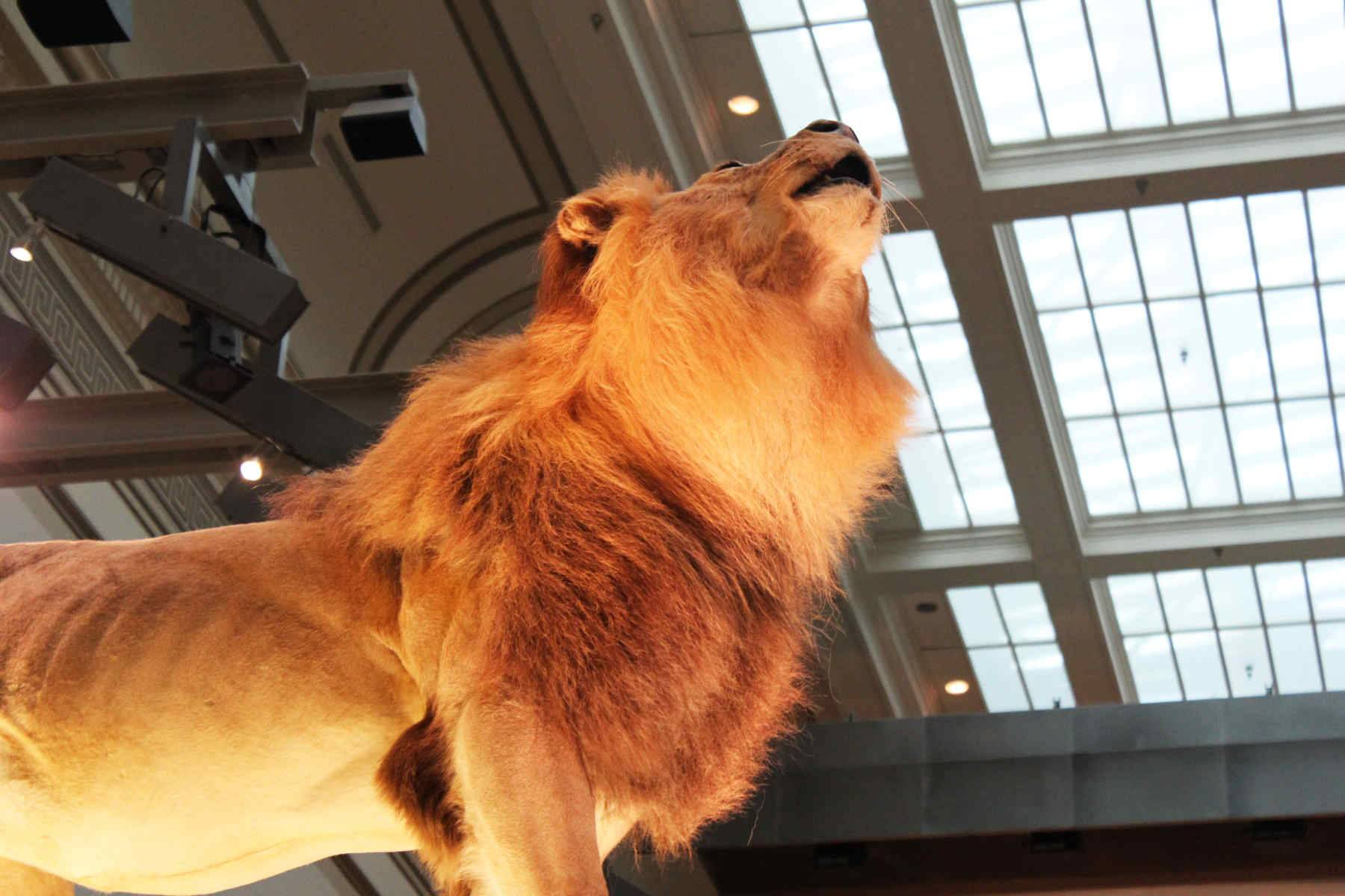 A model lion on display